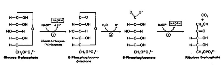 333e9-ppp_oxidative-phase-of-hmp-shunt