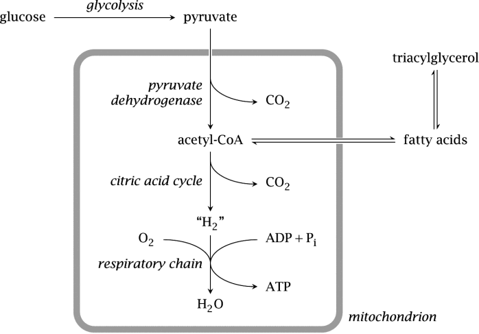 8835d-glycolysis-position-pic-d8303