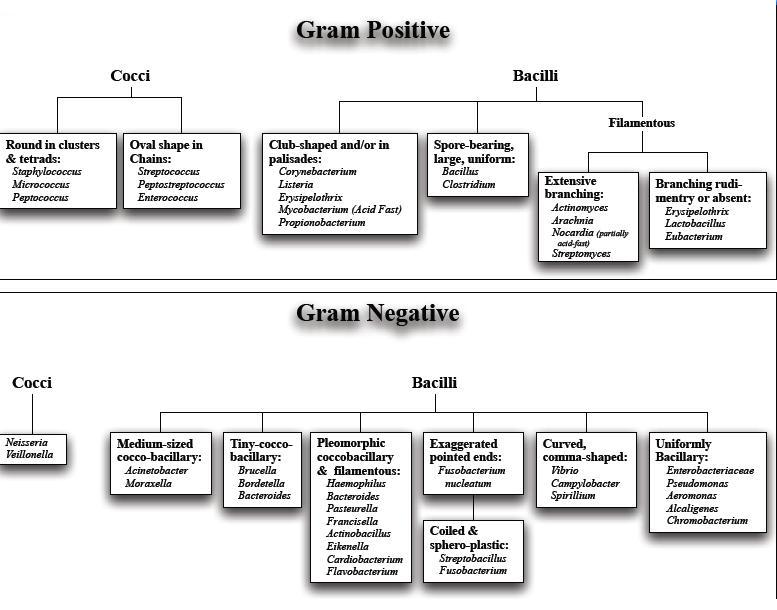 classification-of-grtam-positive-and-negative-bacteria12