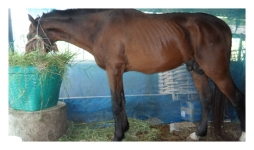 Equine infection (Surra) is by a separate subspecies (T. evansii) and causes a sexually transmitted wasting disease.