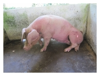 Some trypanosomes affect only pigs and others can be asymptomatic in pigs yet lethal in humans.