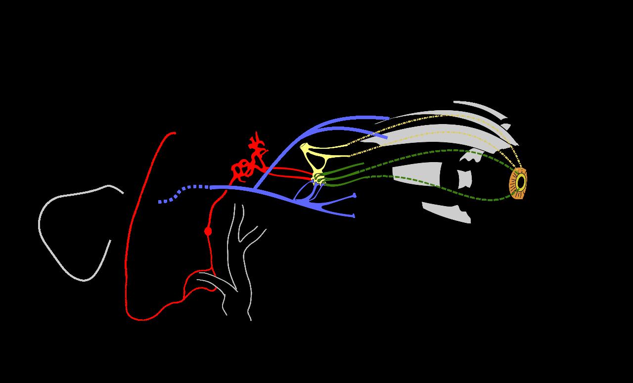 The Eye: Neuroanatomy – The Doctor