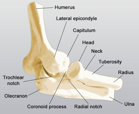 coronoid-process-of-the-ulna